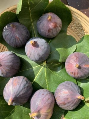Figs on fig leaves in the sun