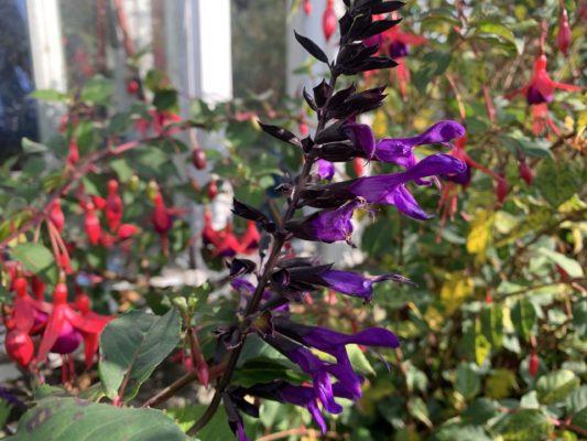 Fuschia Purple