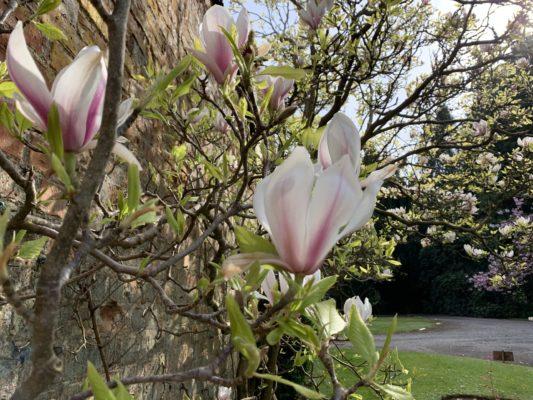 Magnolias in bloom at Hidden Huntley